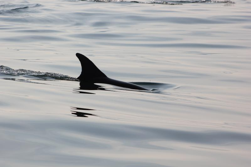 Dolphin in Channel