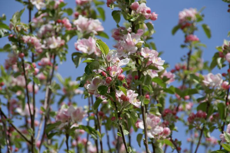 couleurs de printemps des arbres fruitiers du jardin.