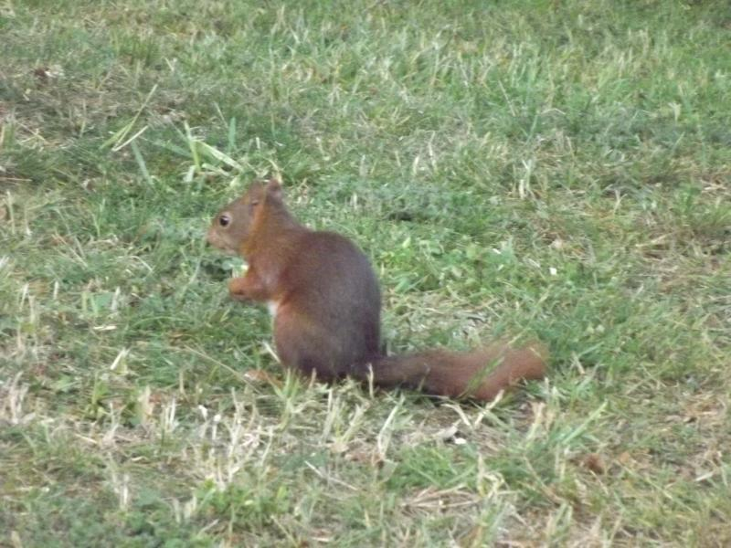 Red squirrels are frequent visitors.