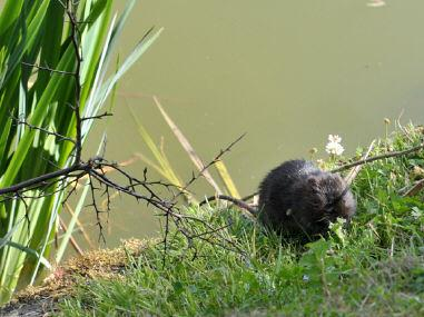 Water voles nesting on site