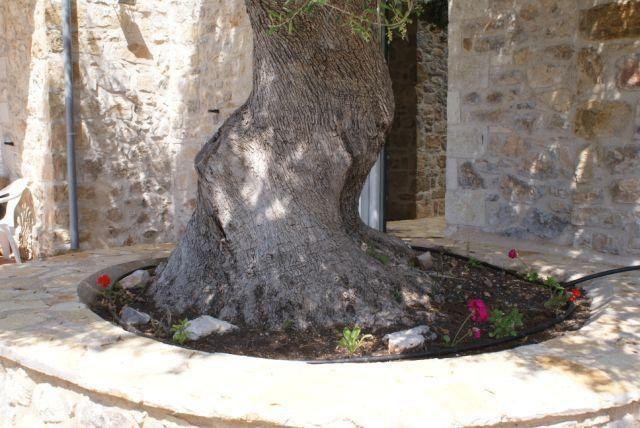 Our Oldest Olive Tree