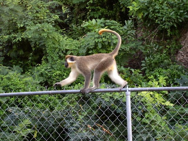 Macaco visitar Palm Paradise.