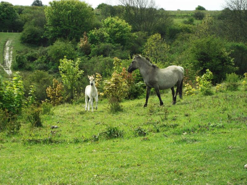 Ponies have been brought in to benefit wildflower conservation and insect habitats