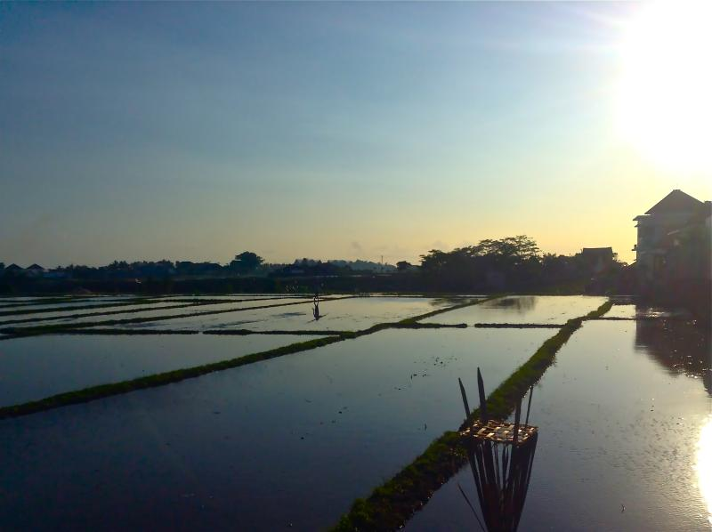 Sunset Walks by the Flooded Rice Paddy