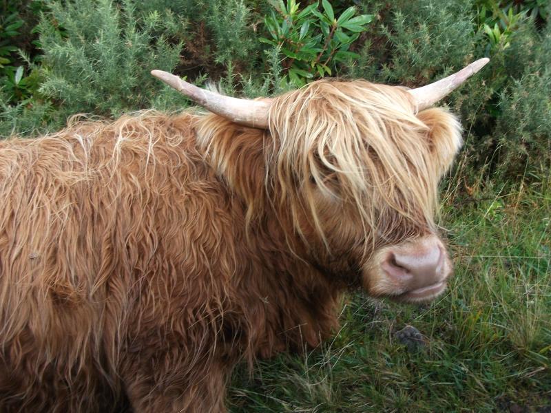 Highland cow.  Mooooo!
