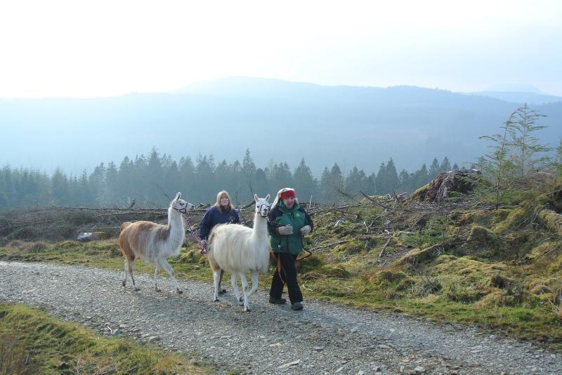 Llama Trekking at Black Rock Sands and Coed y Brenin - only 15 - 20 minutes from cottage
