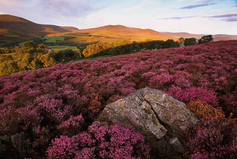 The heather in full bloom