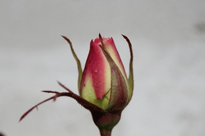Rose rosse e fucsia