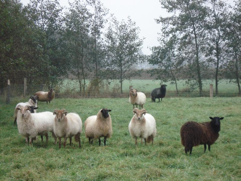 Old Dutch race of sheep, living heritage