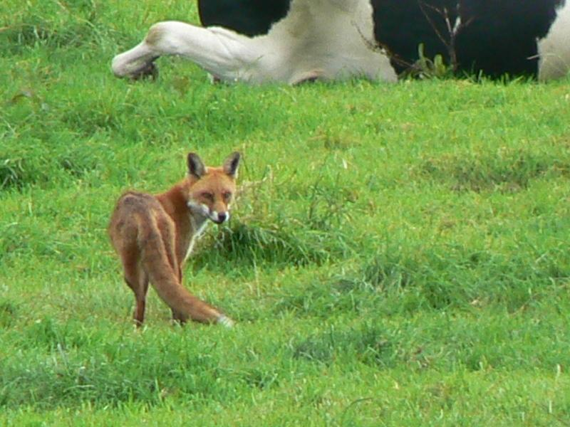 Fox in the field by apartment.