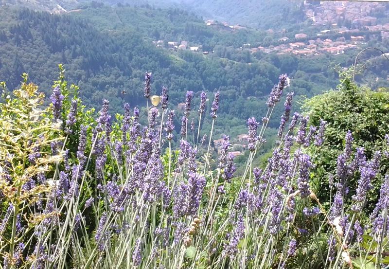 Views of Barga through the lavender.