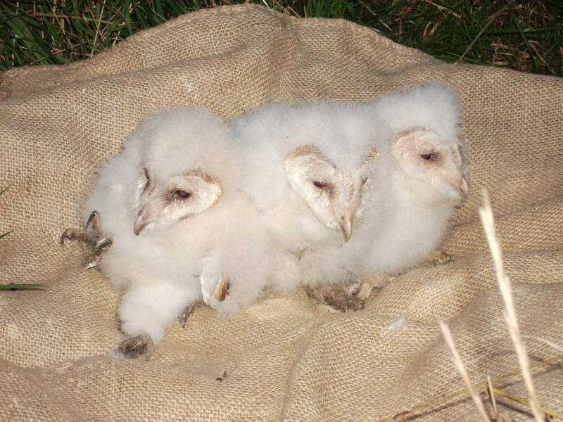 Young barn owls - we watched these owls grow and fly from our camera in the hide