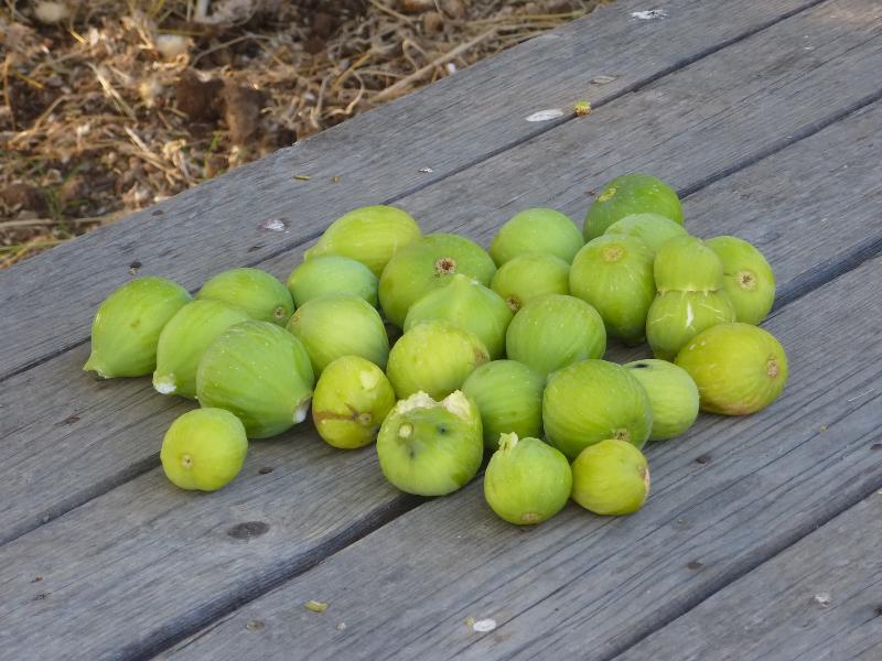 I frutti del nostro albero di fico