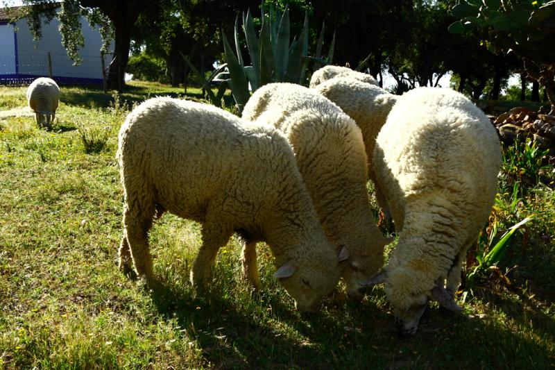 Our sheep grazing