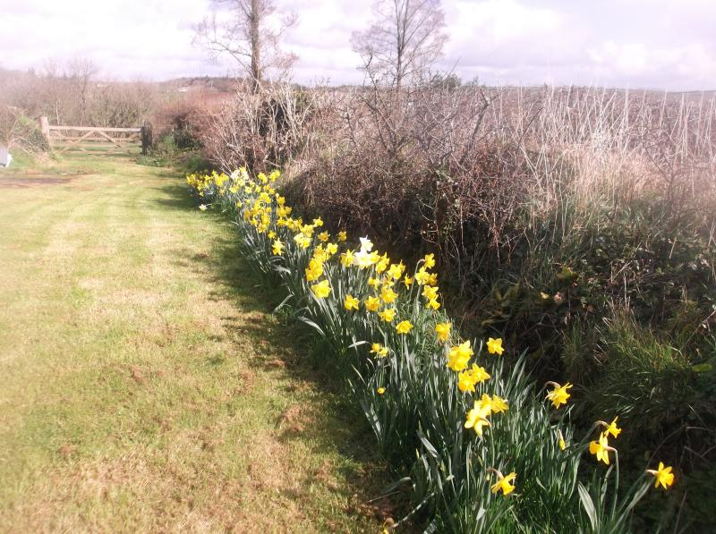 Golden daffodils at Well Farm