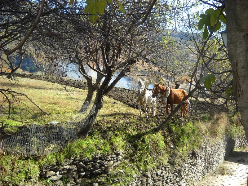 View from terrace....mules ploughing in the almond orchard.!