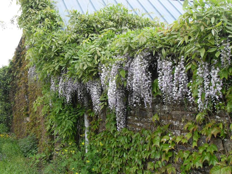 Wisteria in the spring