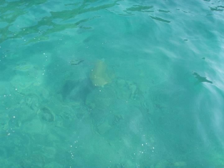 Turtle swimming, Ekincik marina near Dalyan, Turkey