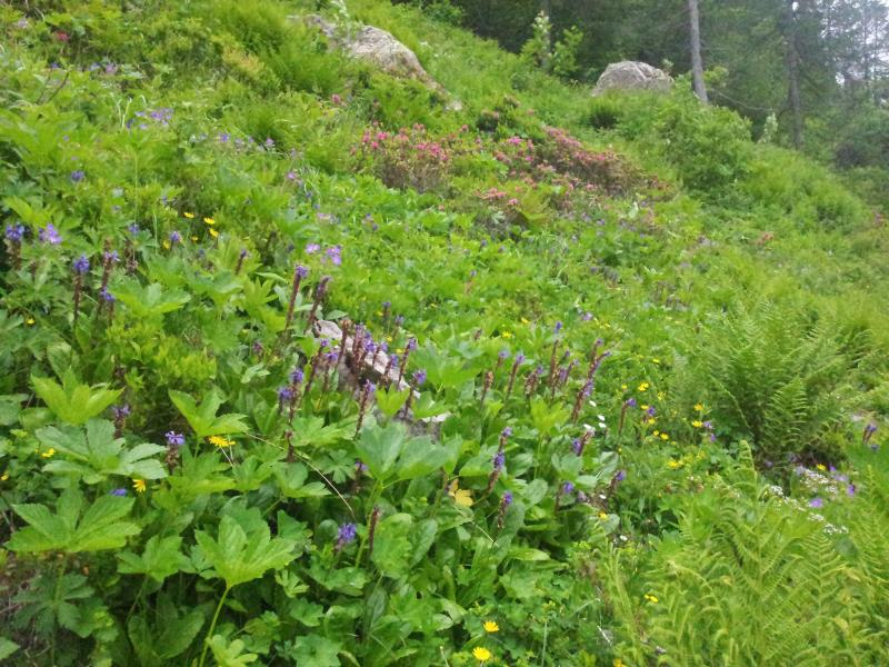 Plant hunting in the Alps