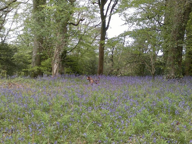 Gorgeous bluebells in spring at nearby Trellisick Gardens