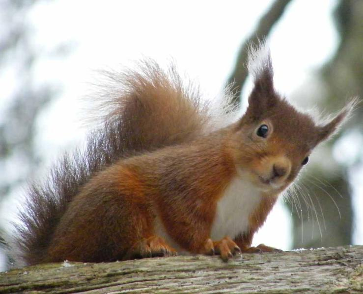 Red Squirrels are frequent visitors to the squirrel feeders around Squirrel Cottage.