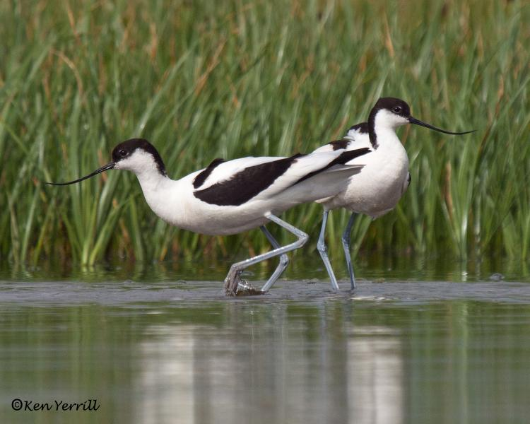 Avocets at Salthouse - Marshes car parking all year round easy nature watching.