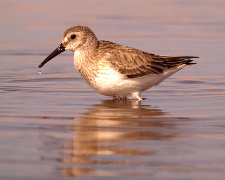 Dunlin at Salthouse a fairly common sight - bird watching at its best.