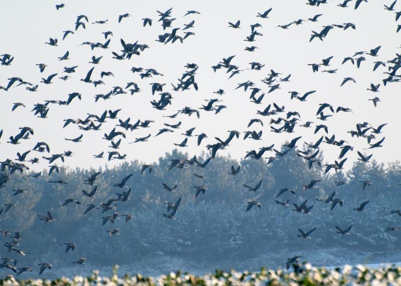Pinkfoot ganzen vroeg aankomen herfst op hun migratie naar Norfolk. Vluchten over de schuren.