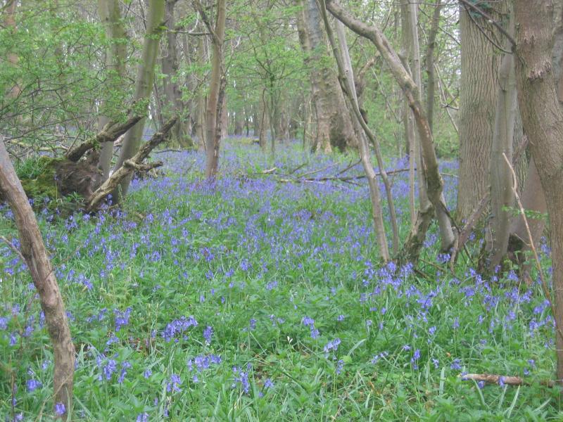 Bluebells in Deepdale Woods