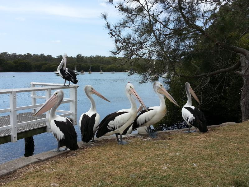 Pelicans at Woollamia boat ramp less than 5 minutes down the road