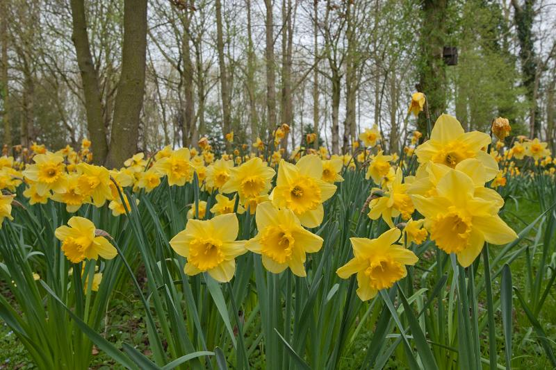 a wonderful display of daffodils cover over 2 acres of garden and woodland in spring