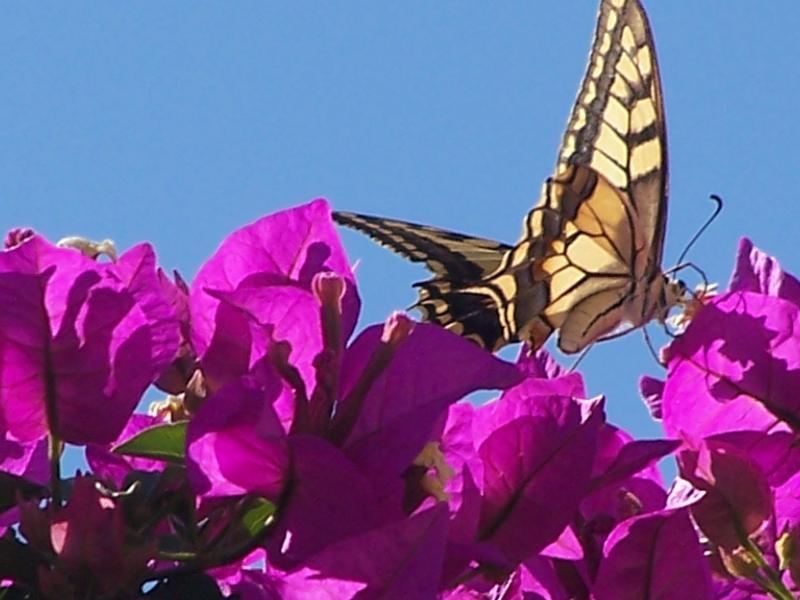 Butterflies love the bougainvillea