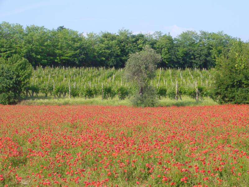 Springtime in Lake Garda, field of poppies