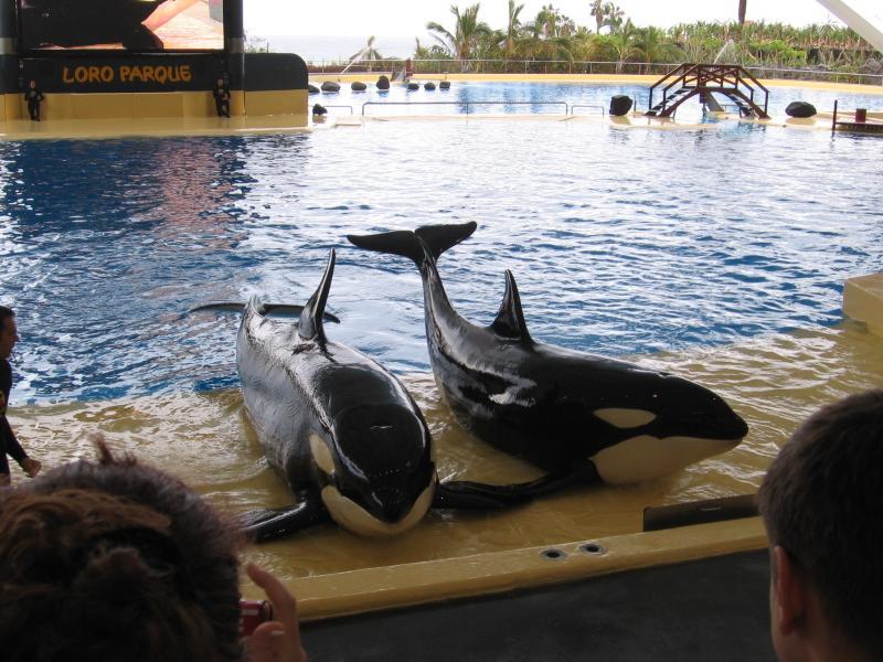 Orca show in Loro Park