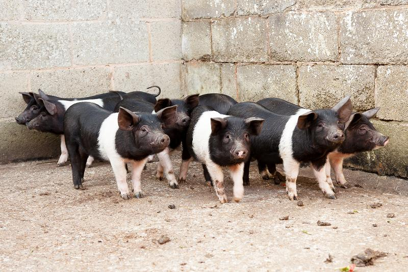 One of our litters of piglets. They eat anything (except meat) and love you throwing it to them