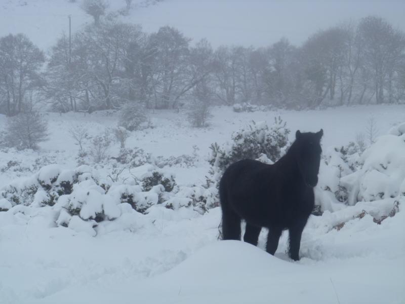 A Dartmoor pony in the snow
