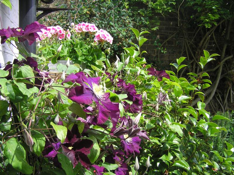 The Garden - clematis and geraniums in May