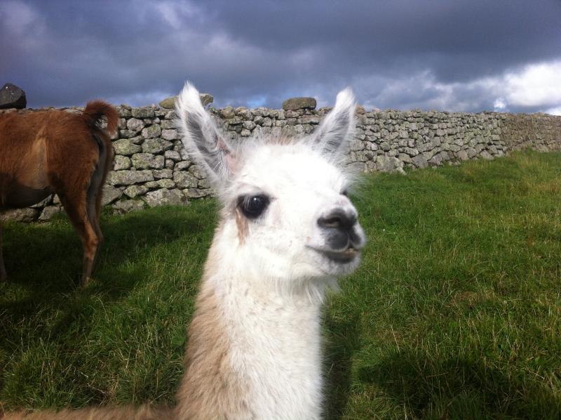 One of 2012's baby llamas