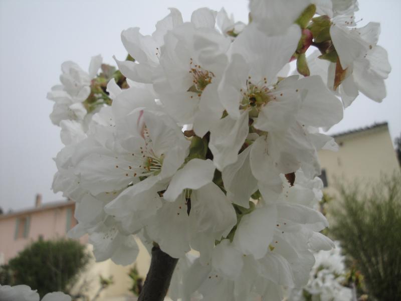 Cerejeiras em flor no jardim