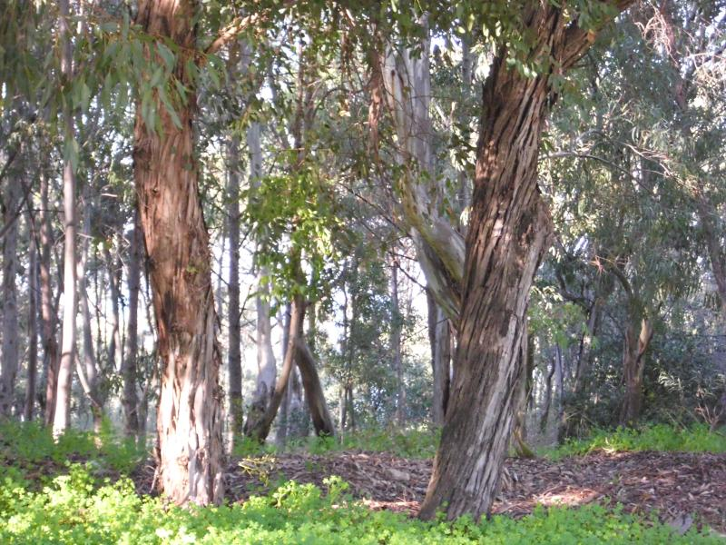 eucalyptus forest shady walking way to the beach