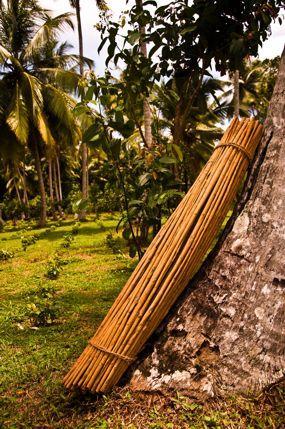 A Freshly Harvested Bundle of La Cannelle Plantation Cinnamon