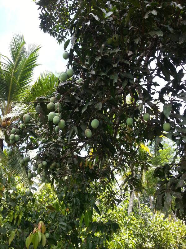 One of La Cannelle Plantation's Prolific Mango Trees