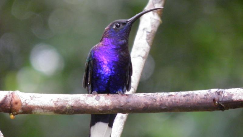 Humming birds in monteverde