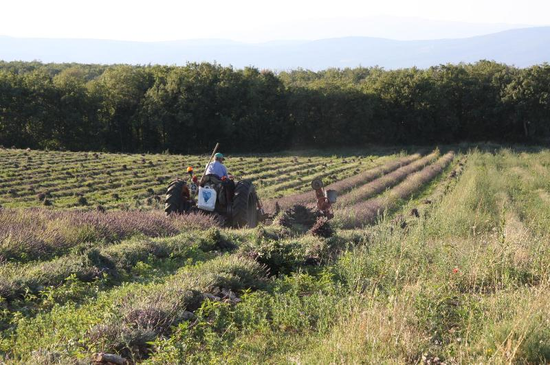 Harvesting the lavender