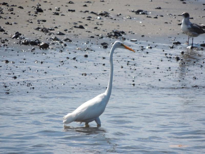 Egret wading at Playa Potrero