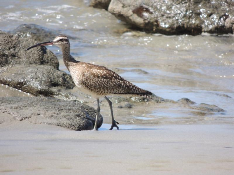 Shorebird at Playa Penca