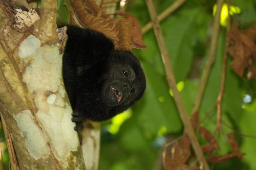 here's a howler monkey shot from the lanai