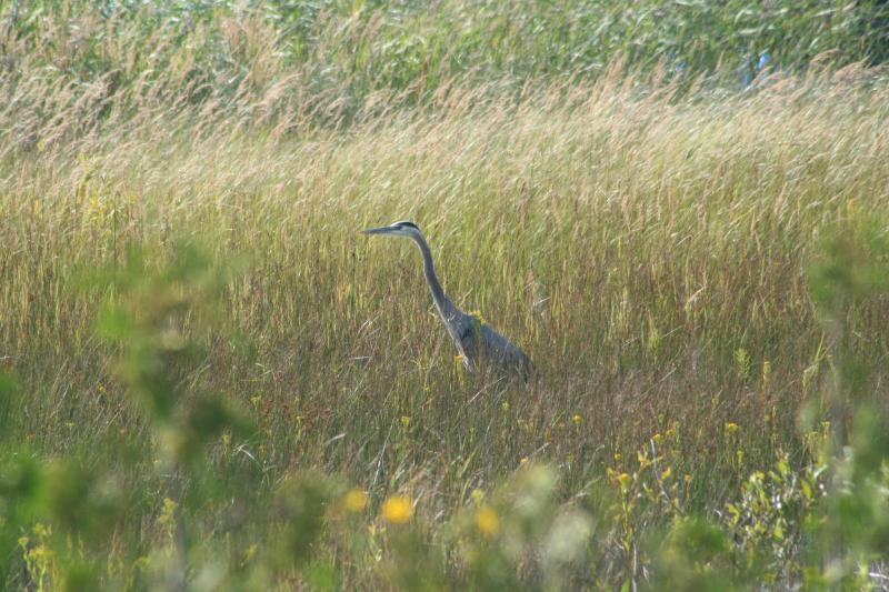 Heron in the grasses