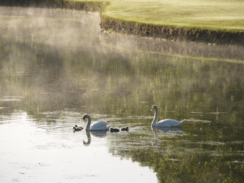 Swans swimming on lake in golf course