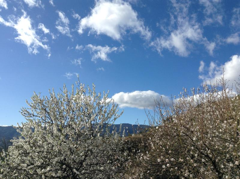 Almond blossom and blue skies